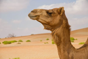 Camels in the UAE